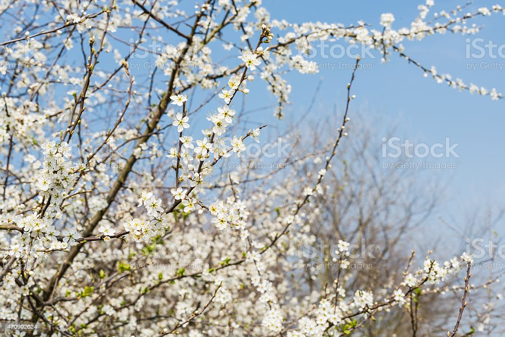 White flowering serviceberry  from close stock photo