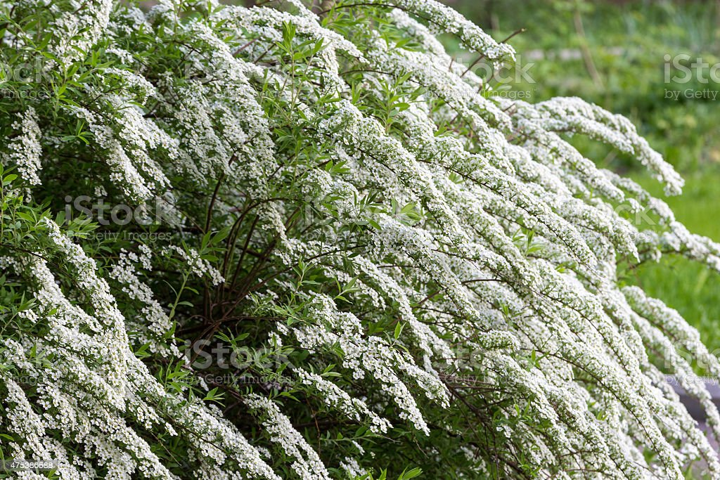 white flowering shrub stock photo