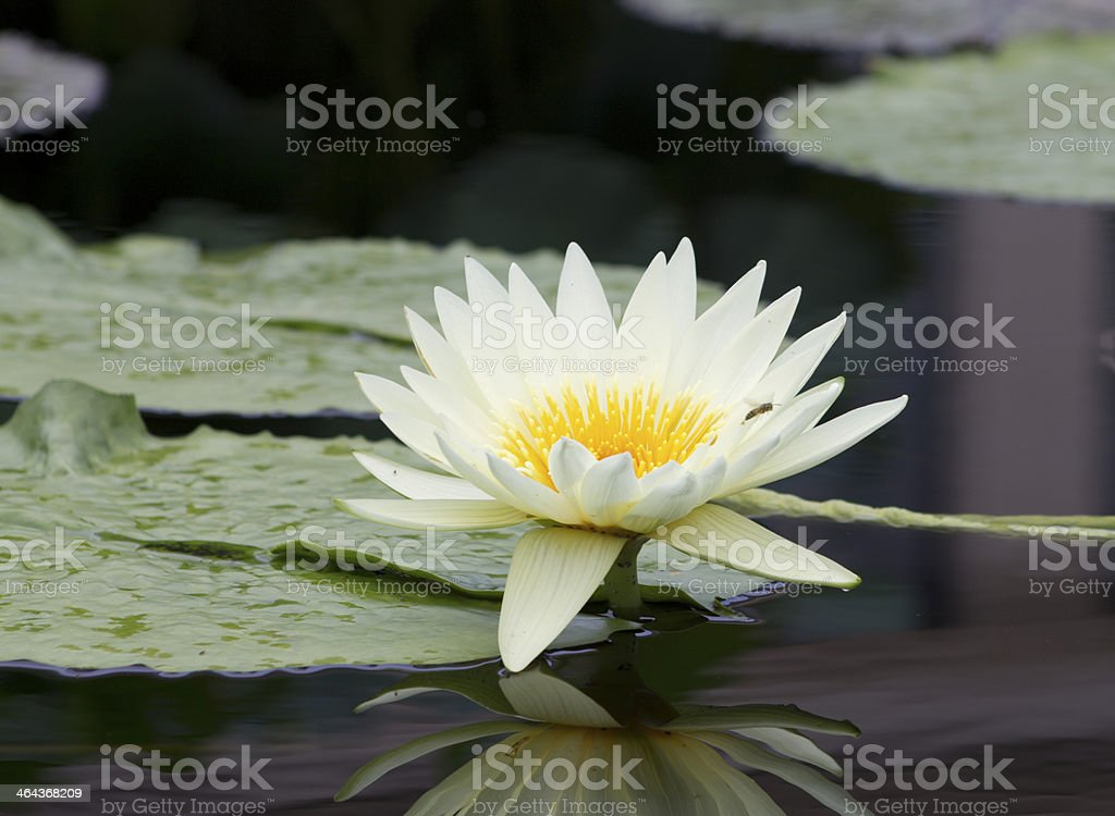 White Flowering Water Lily stock photo