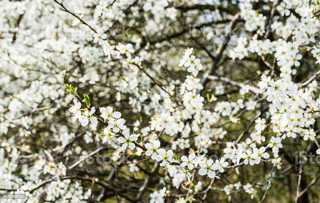 White flowering wild pear bush from close stock photo