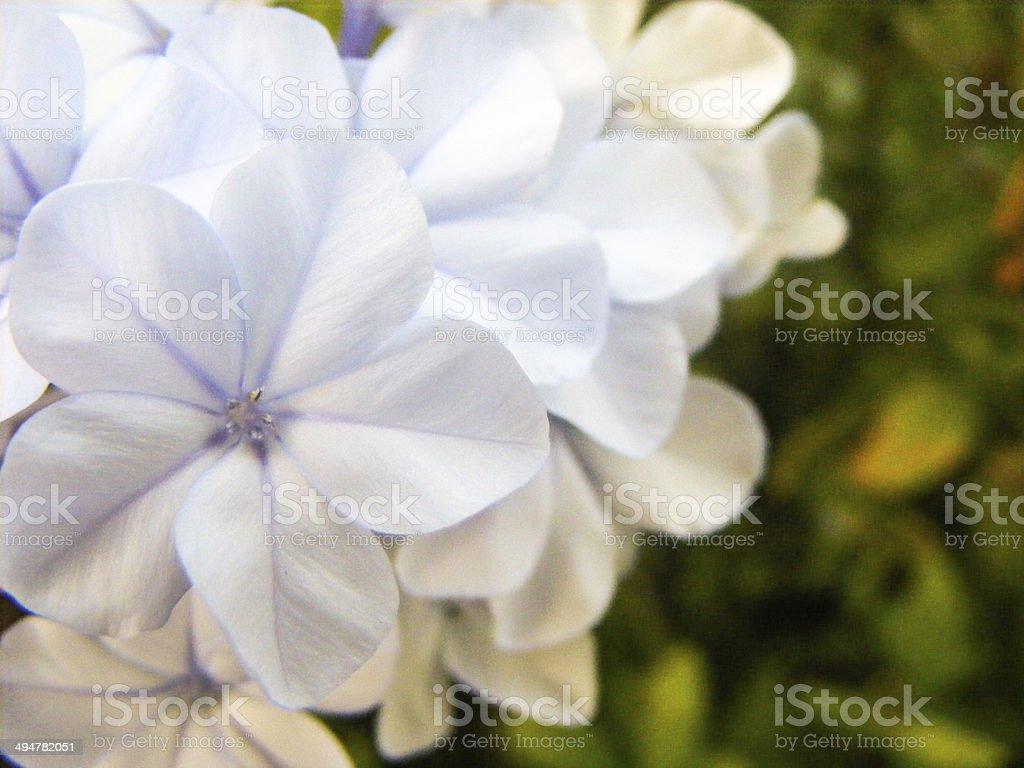 Weiße Blumen auf grünem Hintergrund aganist Lizenzfreies stock-foto