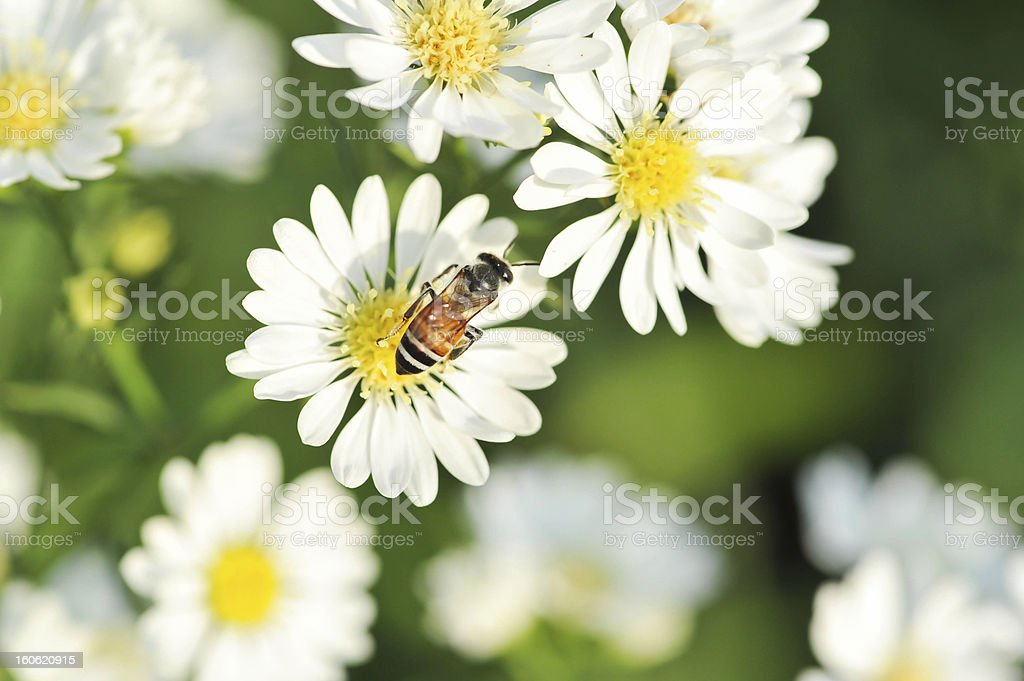 white flowers and bee royalty-free stock photo