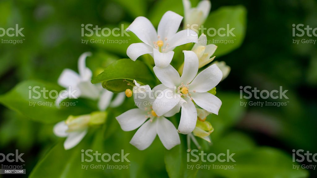 White Flowers Bloom stock photo