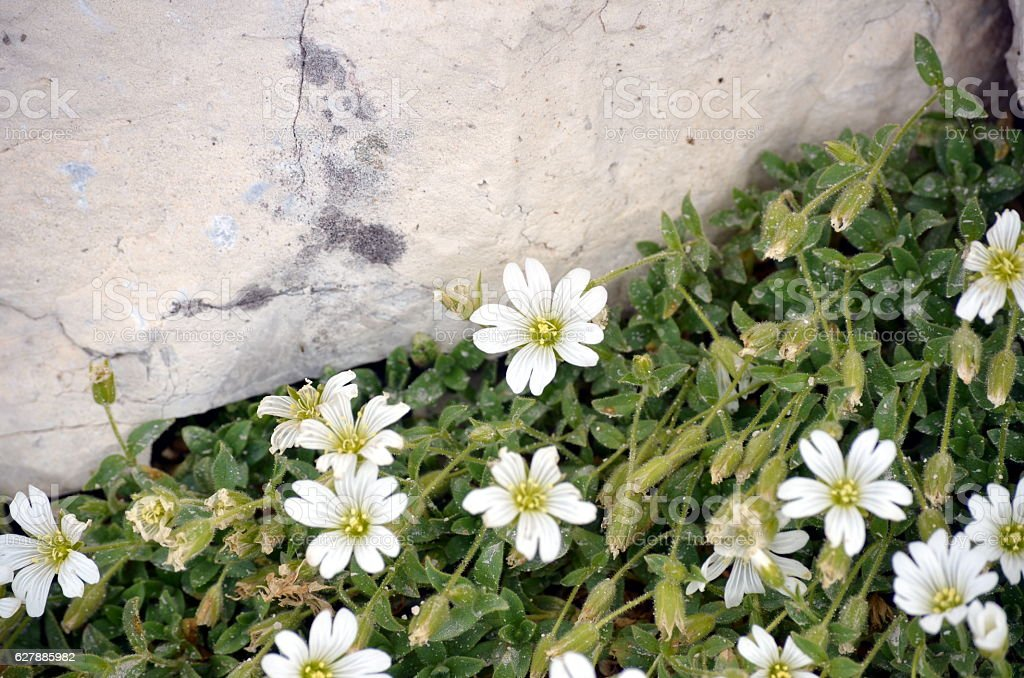 white flowers growing among the rocks stock photo