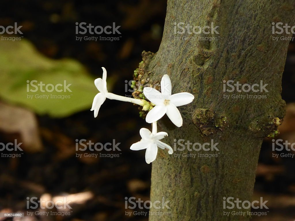 White flowers growing on tree trunk stock photo