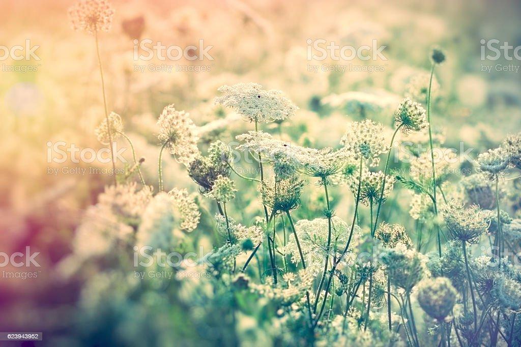 White flowers in meadow - wild flower stock photo