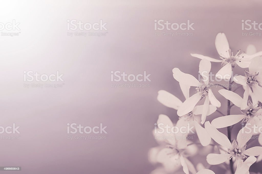 White flowers in purple vintage style filter royalty-free stock photo