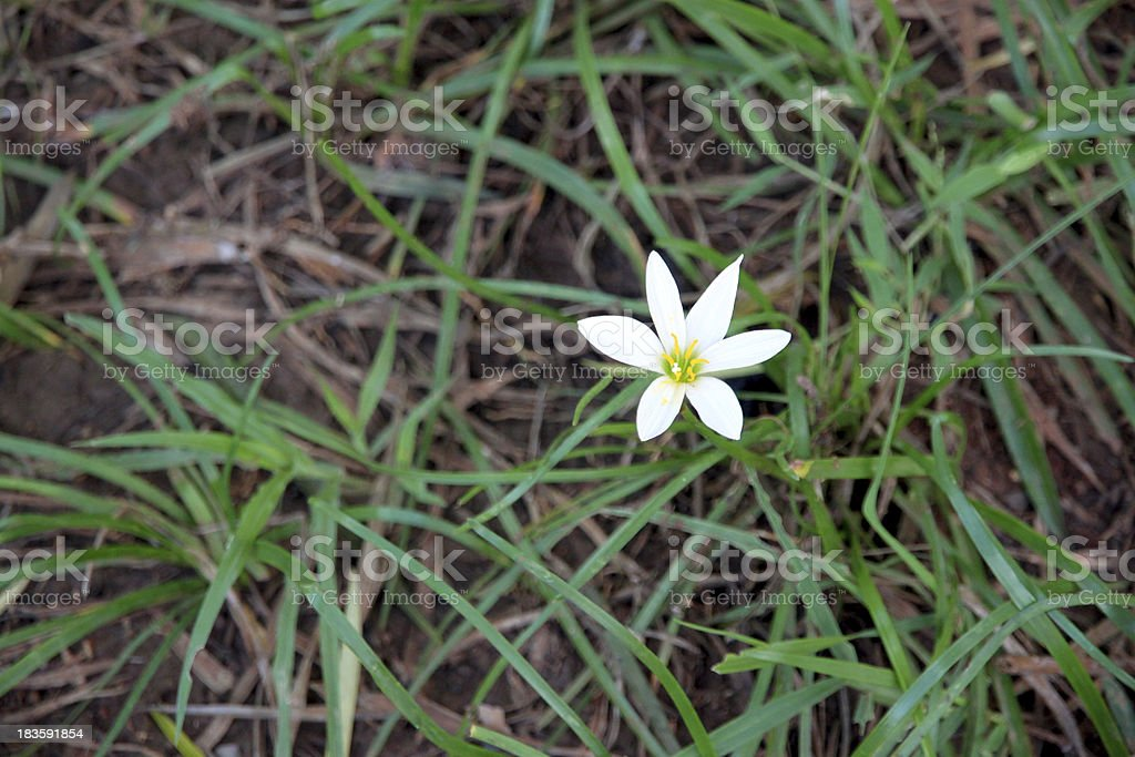 White flowers in the garden. royalty-free stock photo