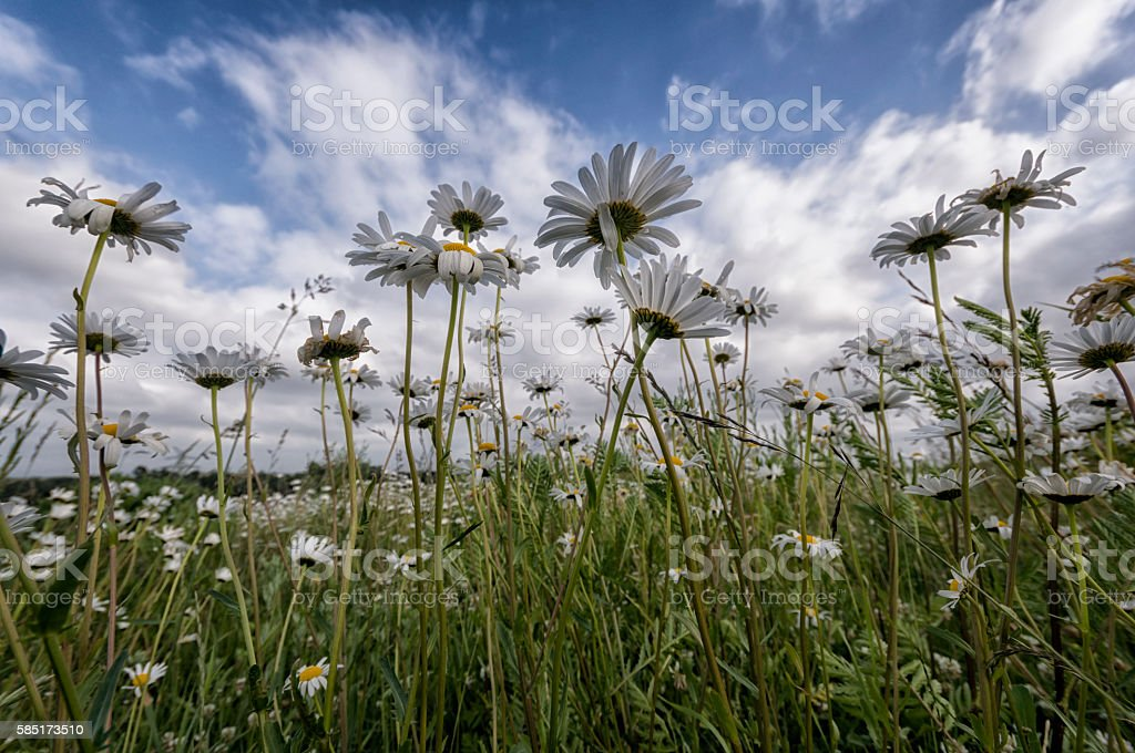 White flowers in the meadow stock photo