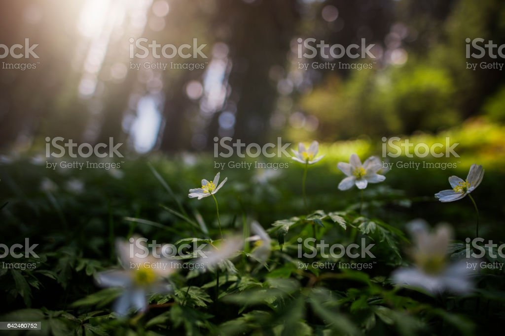 white flowers in the sunlight stock photo