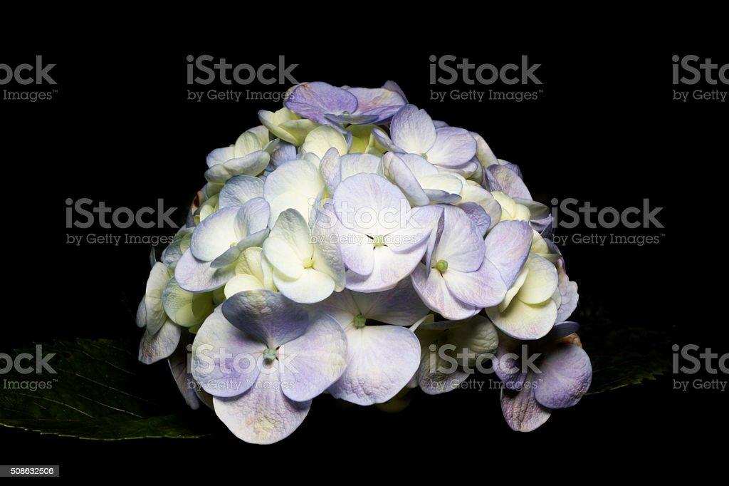 white flowers of a geranium on black background. stock photo