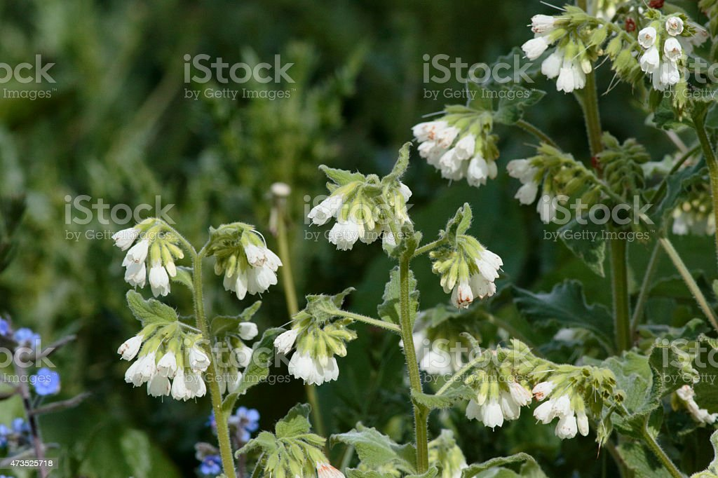 Common Comfrey Symphytum officinale white wildflower stock photo