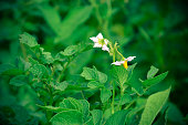 White flowers of a potato on green background.