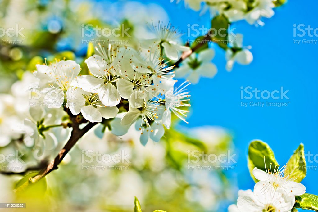 White flowers of apple trees against the blue sky royalty-free stock photo