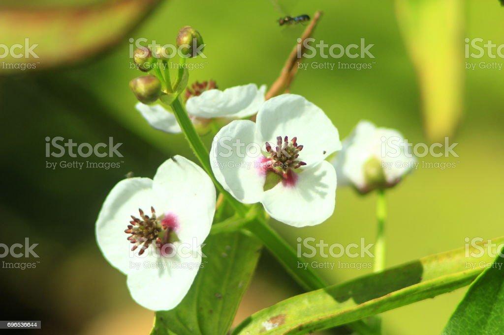 white flowers of butomus umbellatus stock photo