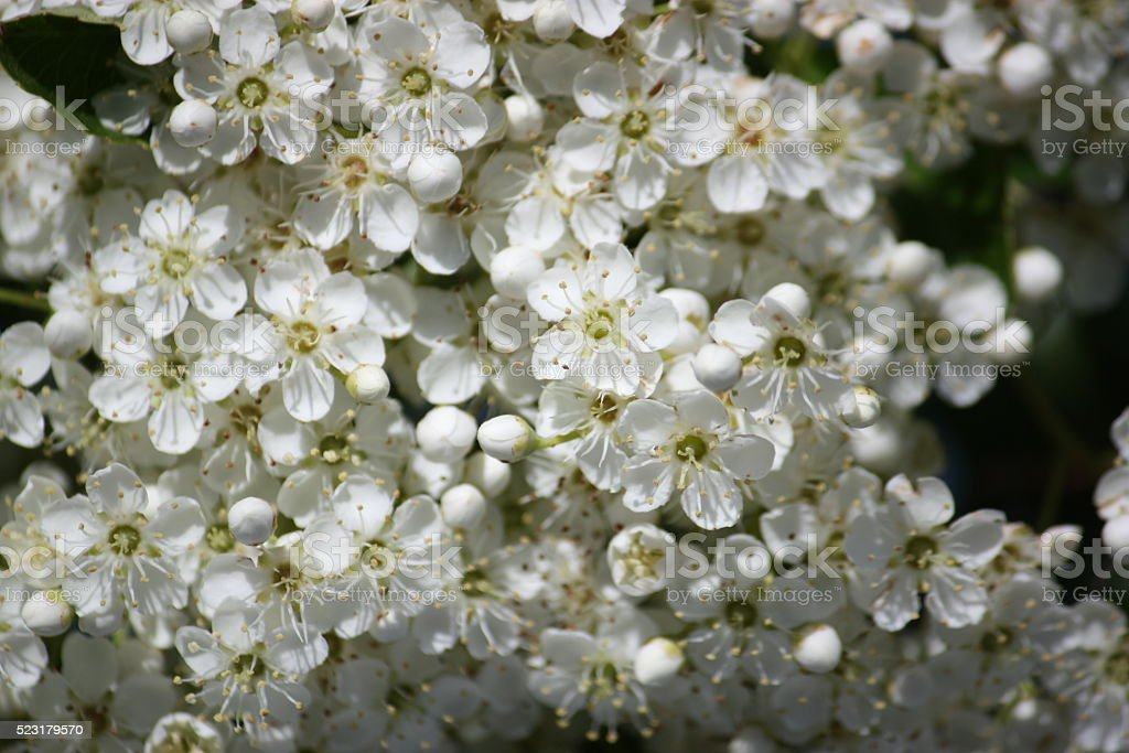 White flowers of Crataegus monogyna stock photo