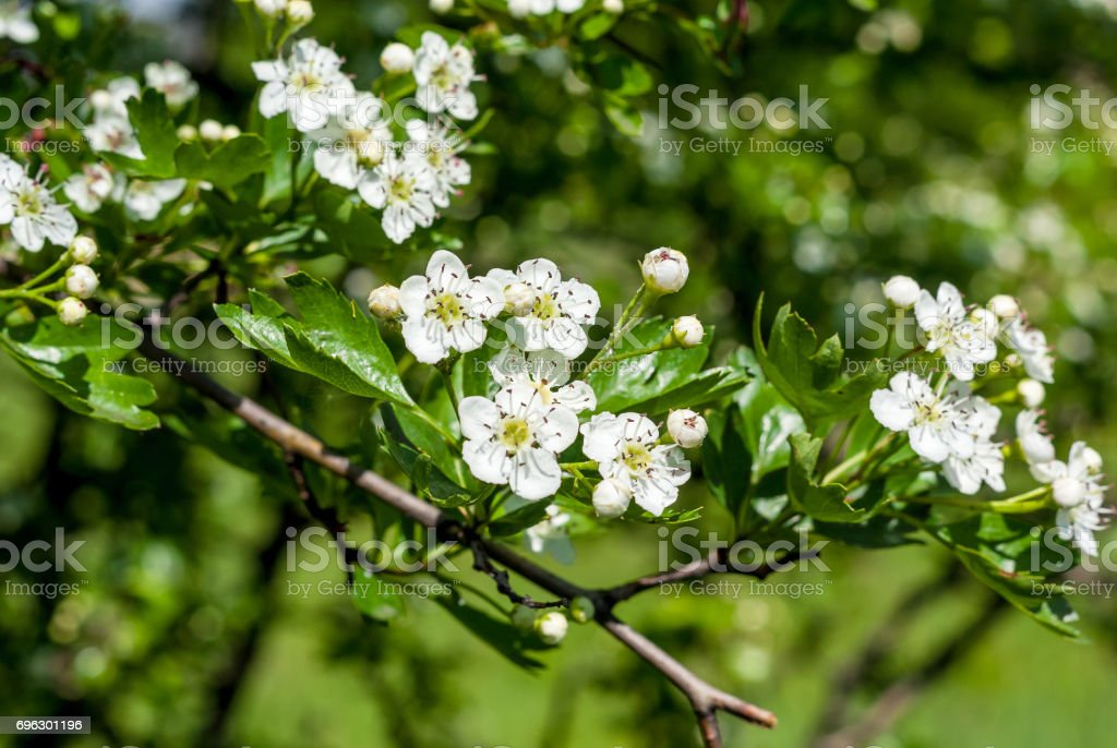 White flowers of hawthorn stock photo