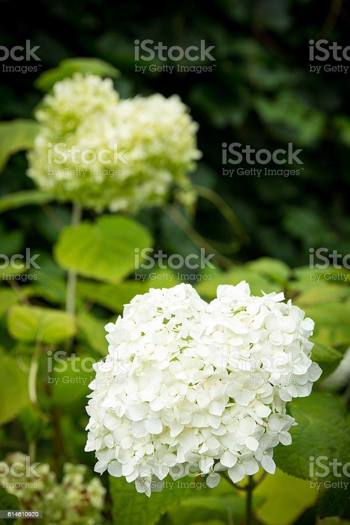 White flowers of Hydrangea Paniculata Limelight stock photo