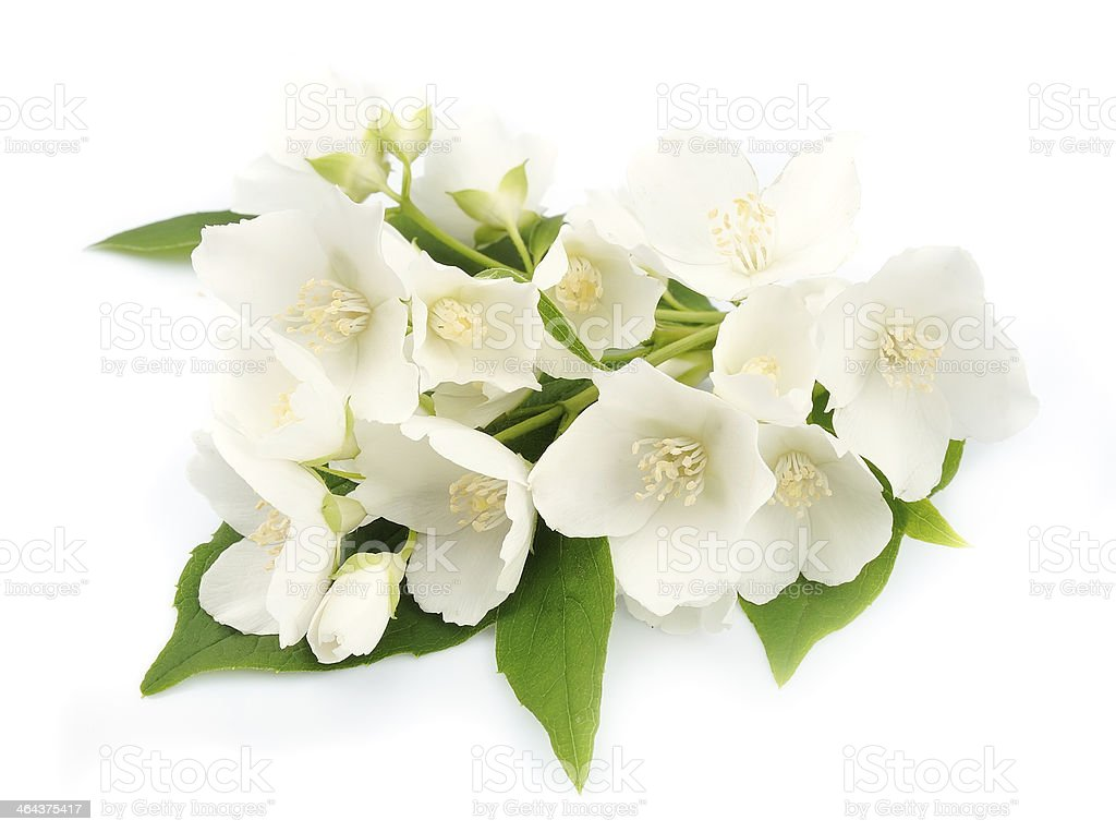 White flowers of jasmine royalty-free stock photo
