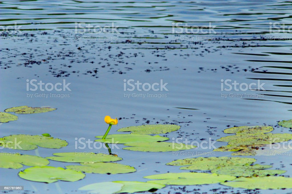 white flowers of Nuphar lutea stock photo