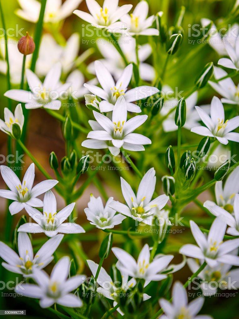 White flowers of Ornithogalum umbellatum stock photo
