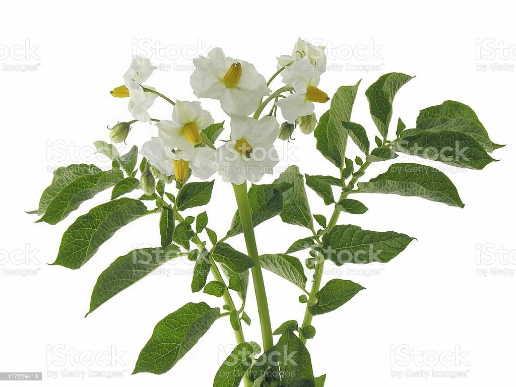 white flowers of potato plant royalty-free stock photo
