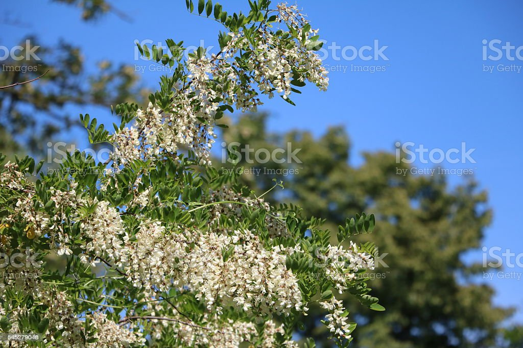 White flowers of Robinia pseudoacacia stock photo