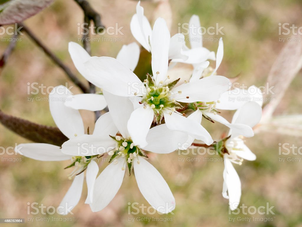 White flowers of serviceberry in spring stock photo
