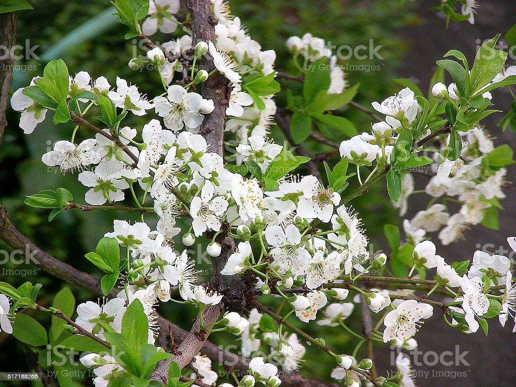 white flowers of the European plum tree -2 stock photo