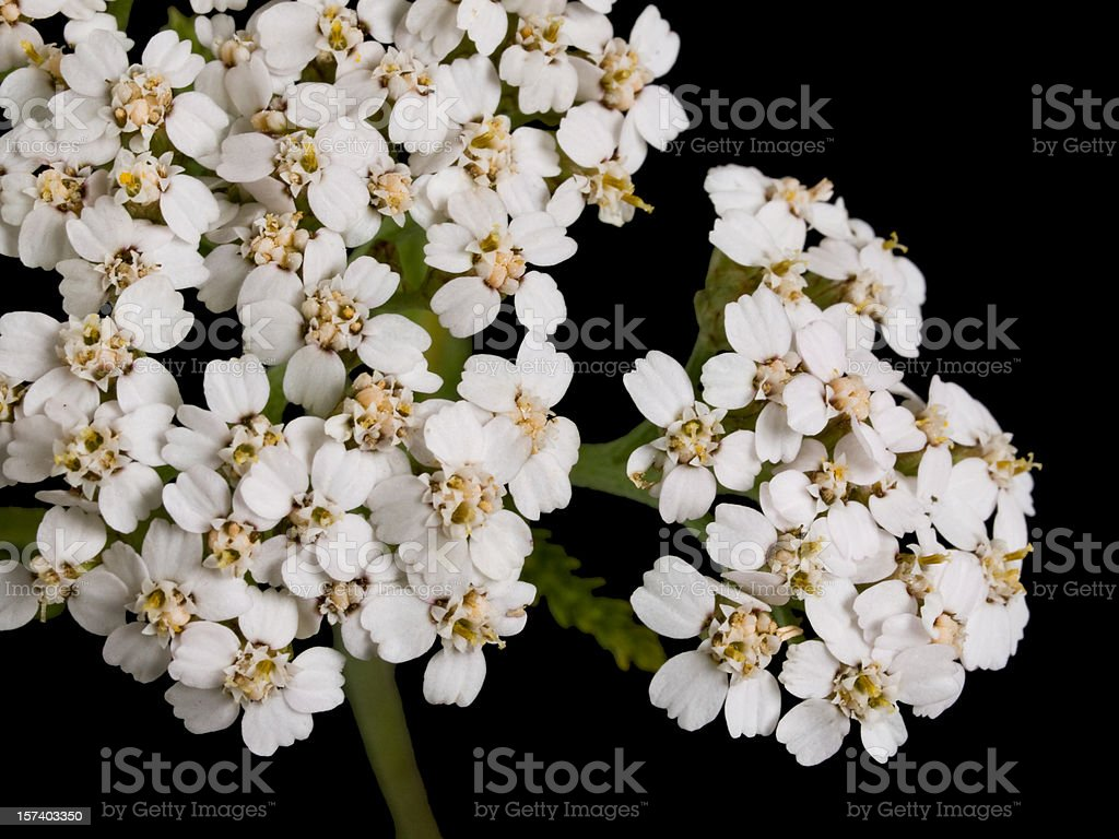 White flowers of the Yarrow (Achillea millefolium) royalty-free stock photo