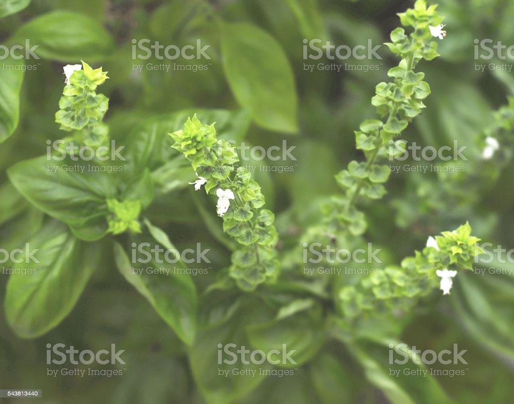 White flowers on a basil plant foto de stock libre de derechos