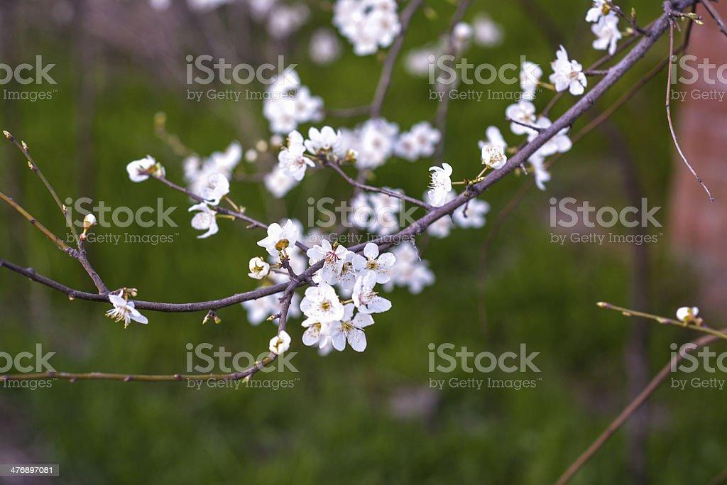 Weiße Blumen auf einem Baum Lizenzfreies stock-foto