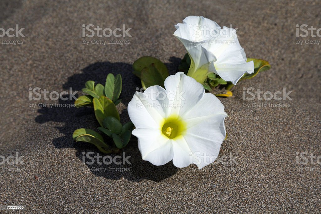 White Flowers On Sand stock photo