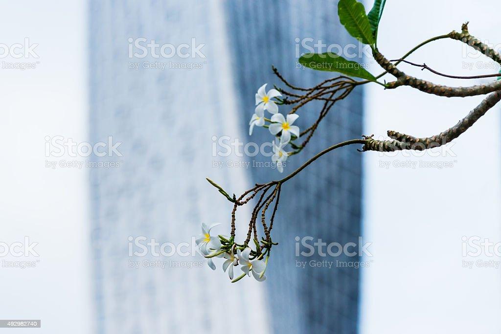 White Flowers on Tree and Modern Skyscraper Apartment, Dubai, UAE stock photo