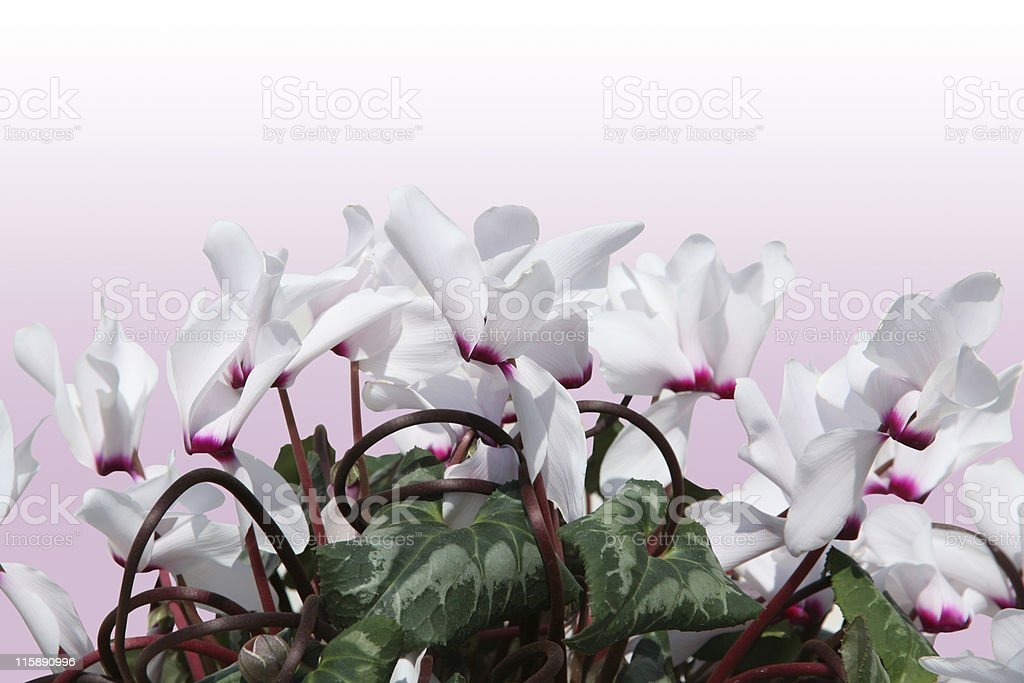 White flowers (with clipping path) royalty-free stock photo
