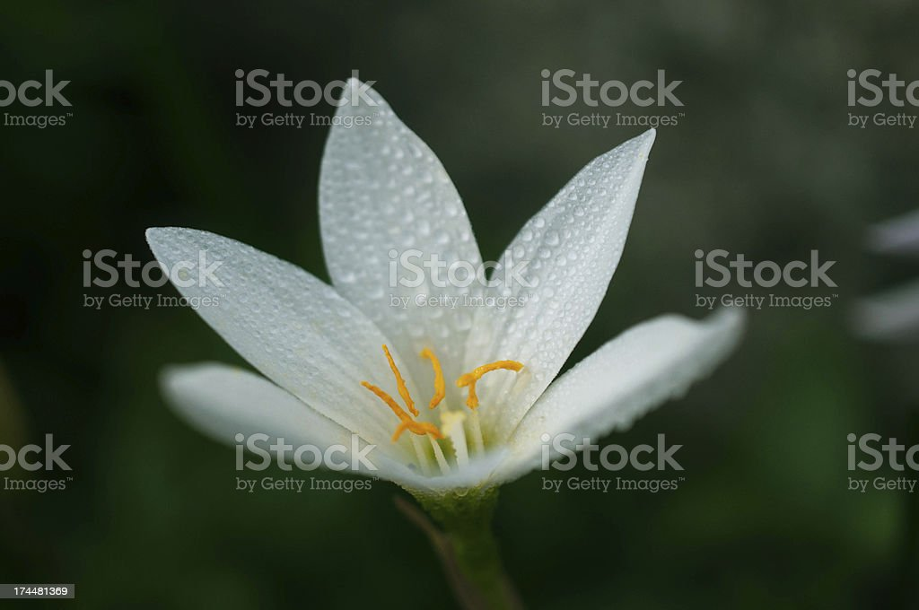 White flowers. royalty-free stock photo