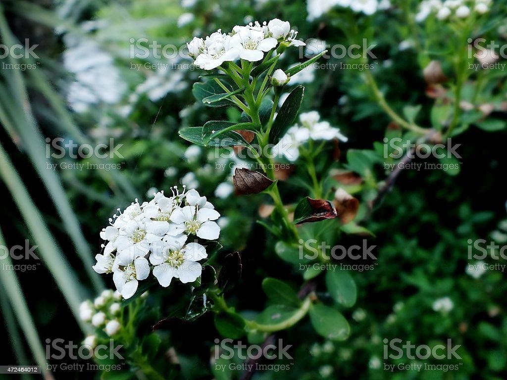 Flores brancas foto royalty-free