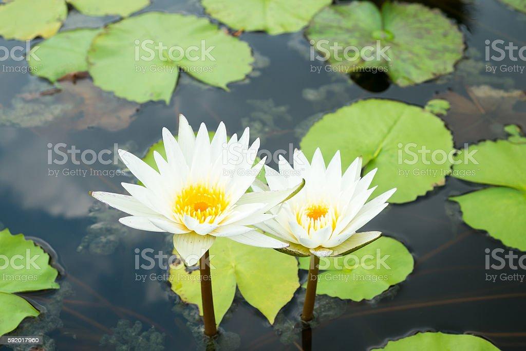 Weiße Blumen  Lizenzfreies stock-foto