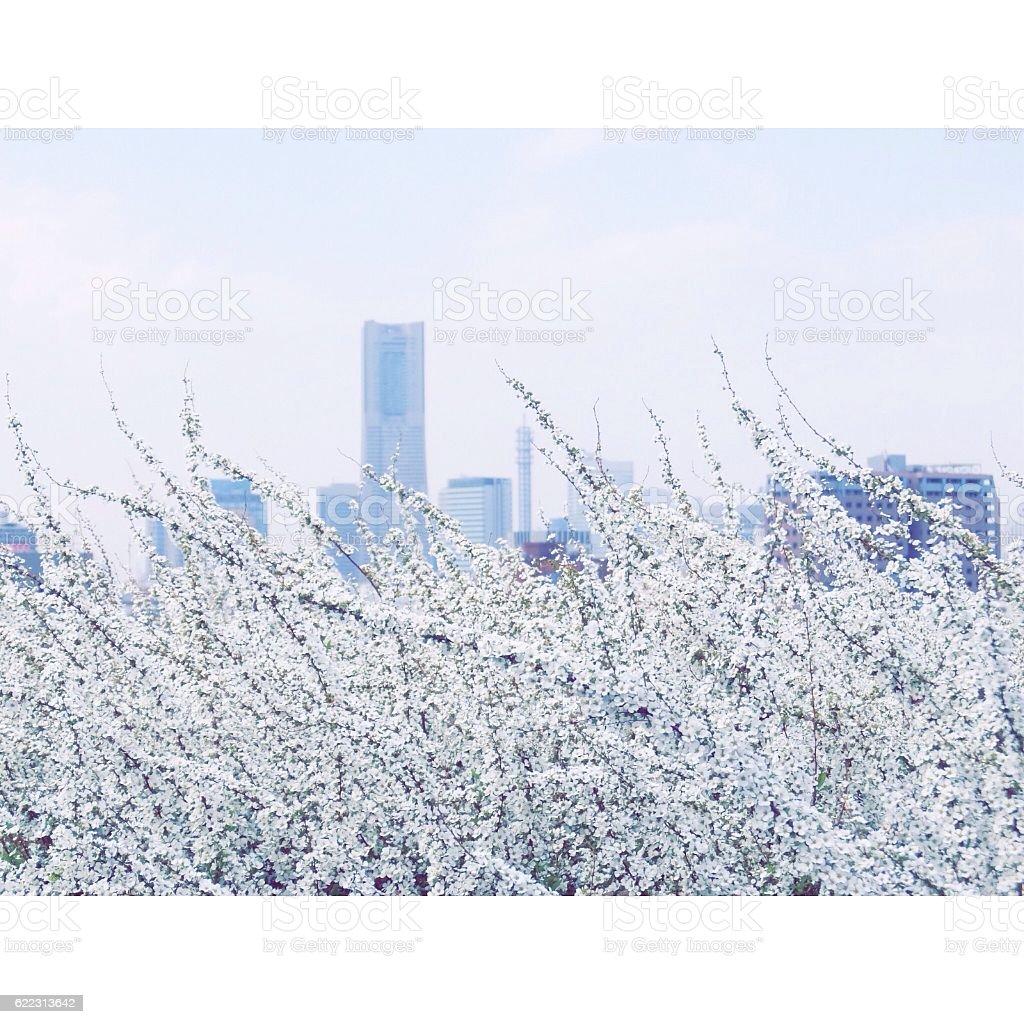 white flowers royalty-free stock photo