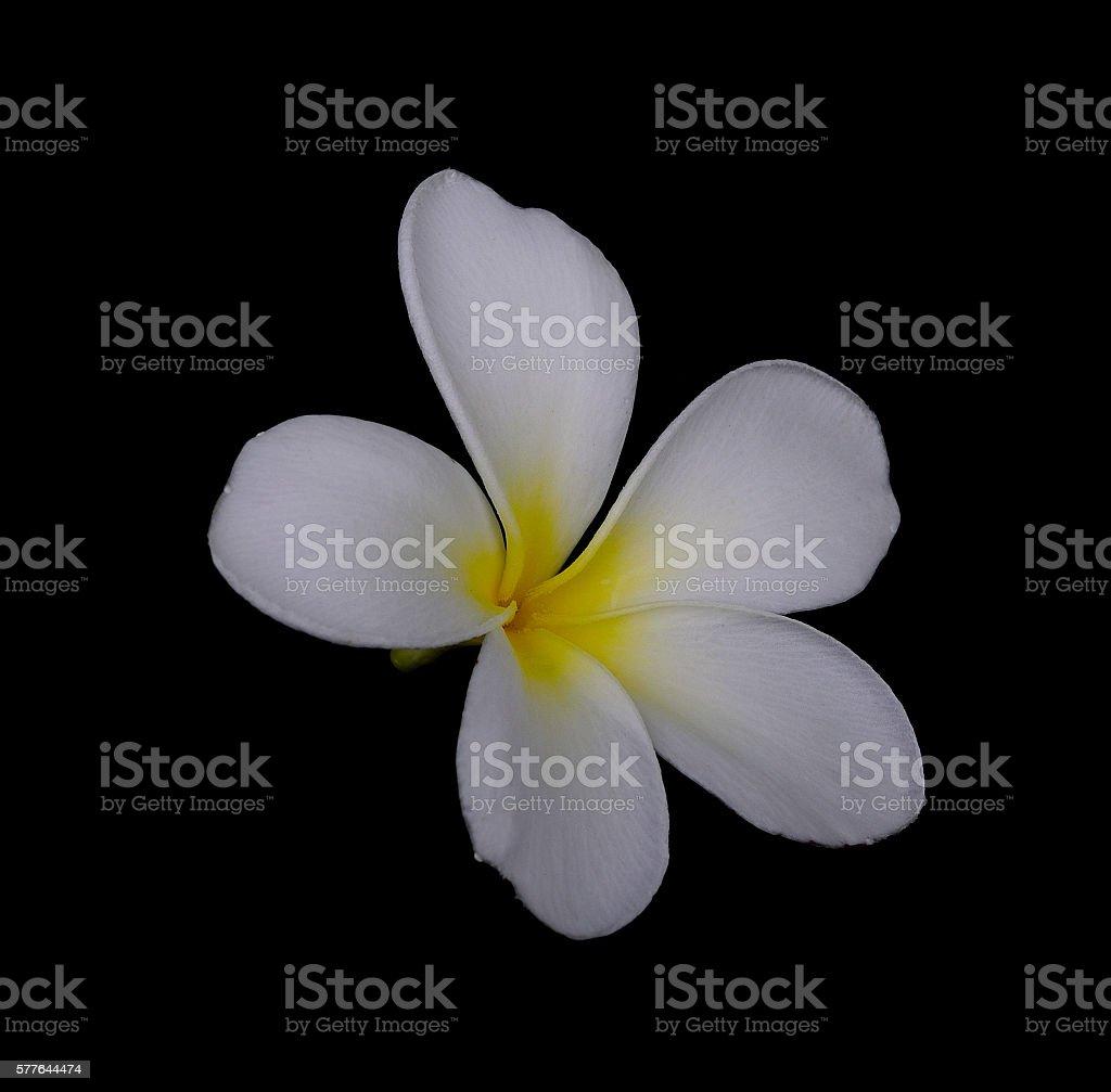 white flowers Plumeria (Frangipani) isolated on black background stock photo