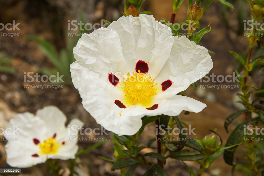 White Flowers Rockrose  - Flores Blanca de Jara stock photo