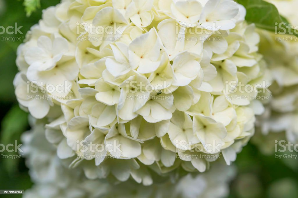 White flowers, 'snowball' flowers, Viburnum opulus ornamental bush stock photo