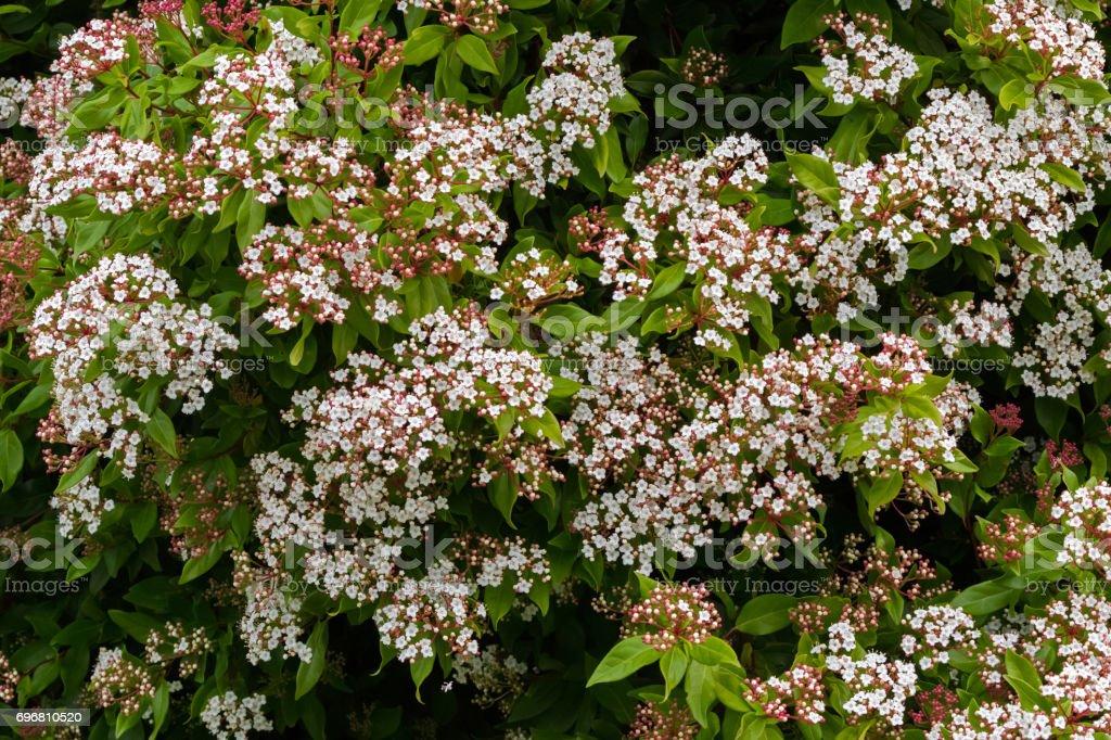 White flowers with pink buds of Viburnum tinus blossoming inTasmania, Australia stock photo