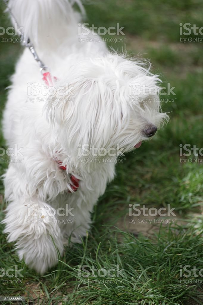 White fluffy dog Bolognese stock photo