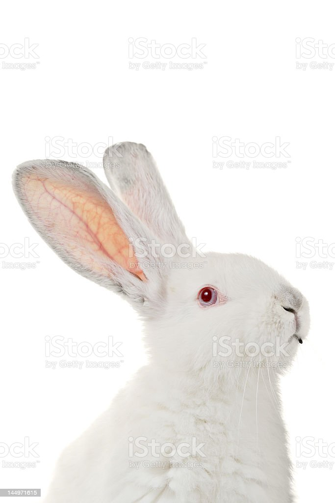 White fluffy rabbit with red eyes looking to the east stock photo