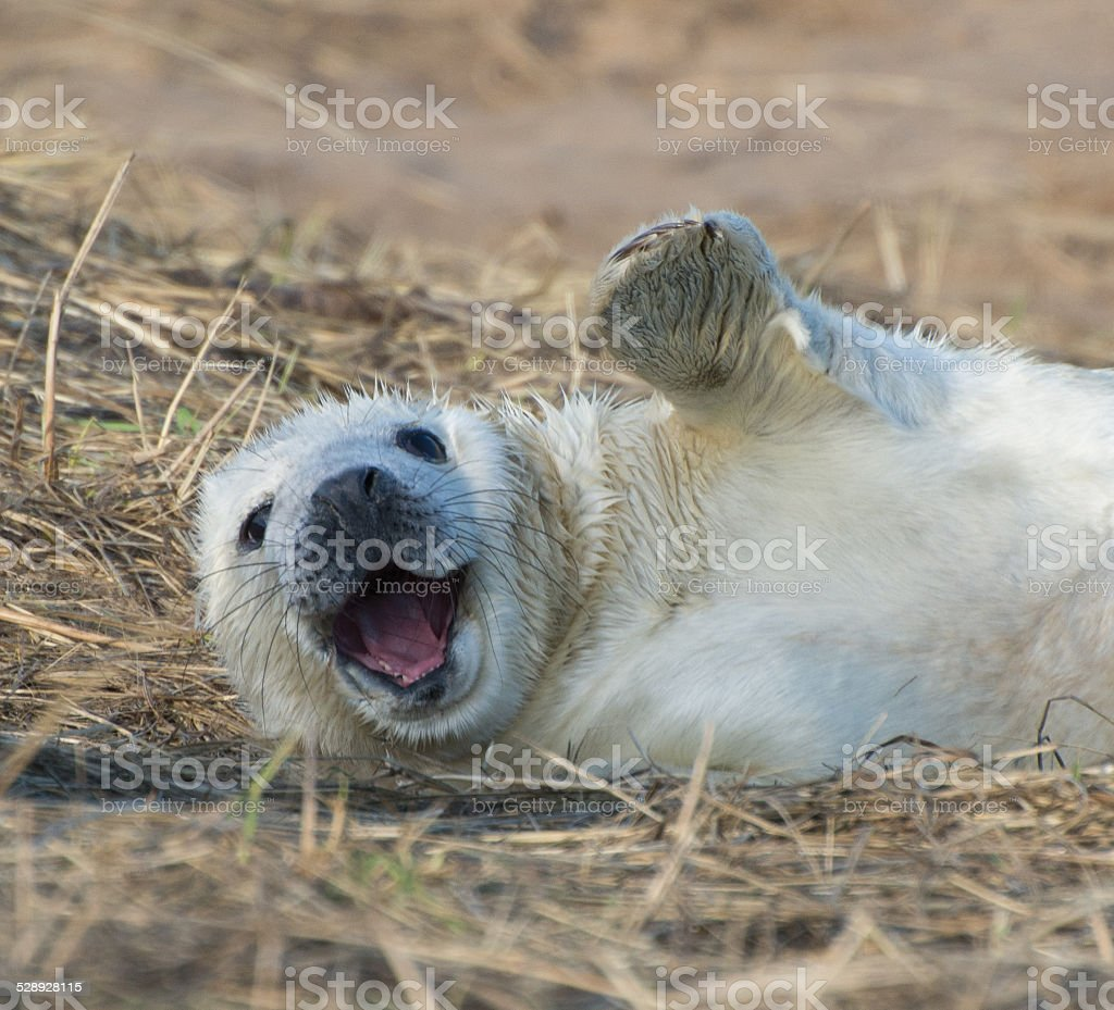 White fluffy seal pup at Donna Nook waving and smiling stock photo