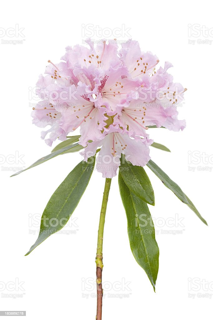 White flushed pink rhododendron isolated on white stock photo