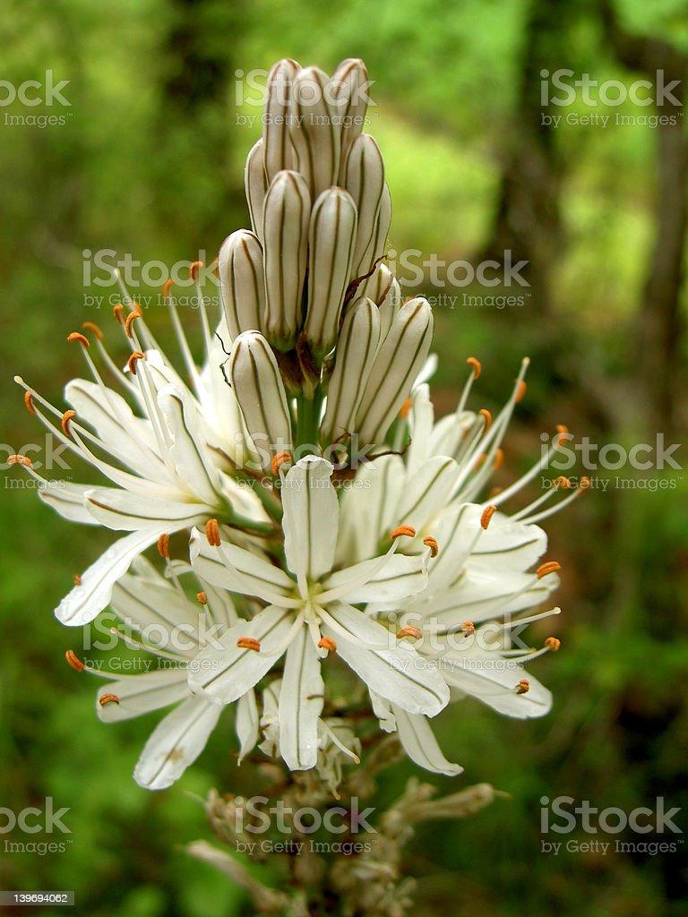 white forrest flower royalty-free stock photo