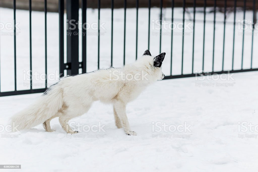 white Fox in the snow stock photo