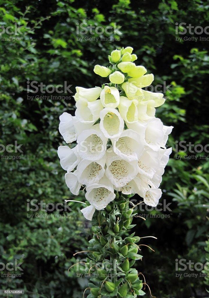 White foxglove flower (Digitalis purpurea albiflora) stock photo